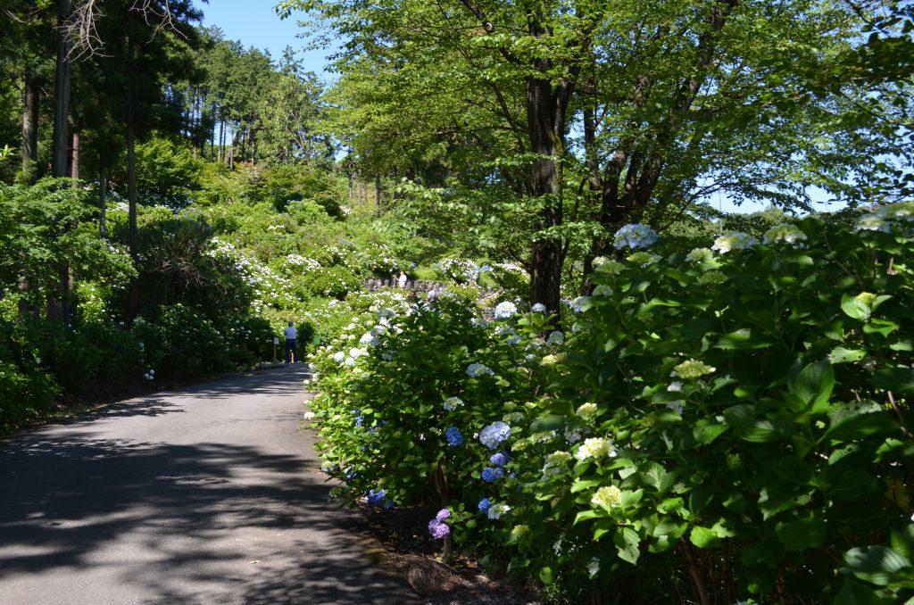 駐車場へ続く道の周りにもアジサイが咲いています。
