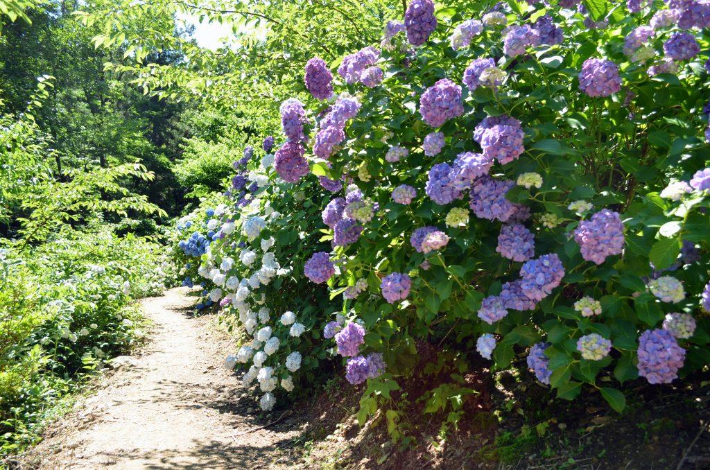両脇に咲く紫陽花の中を通る小路