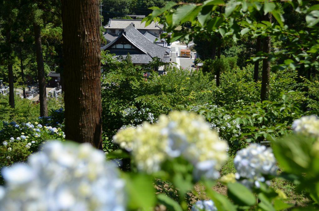 嵐山町金泉寺(あじさい寺)の本堂がアジサイ越しに見えます。