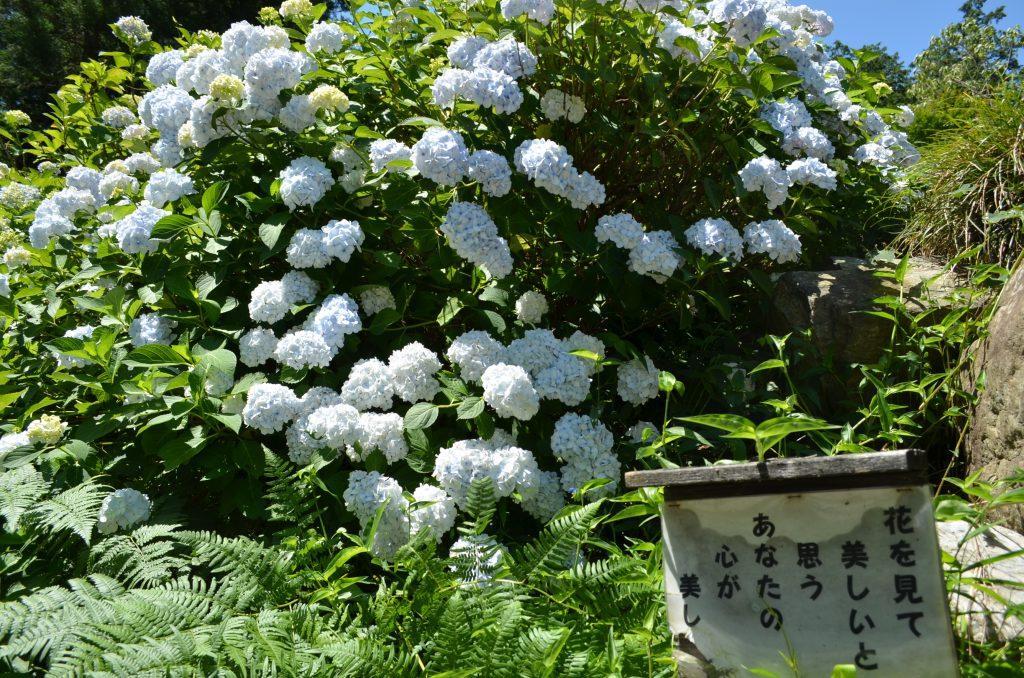 金泉寺の白いアジサイ