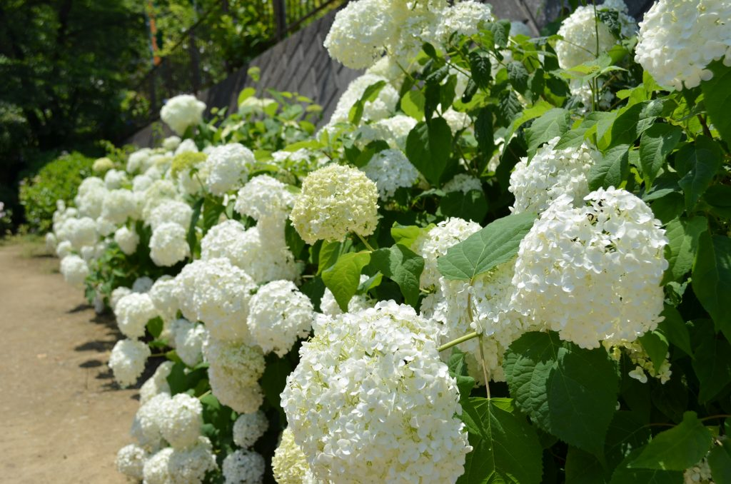 階段脇に咲いている真っ白なあじさい。満開です