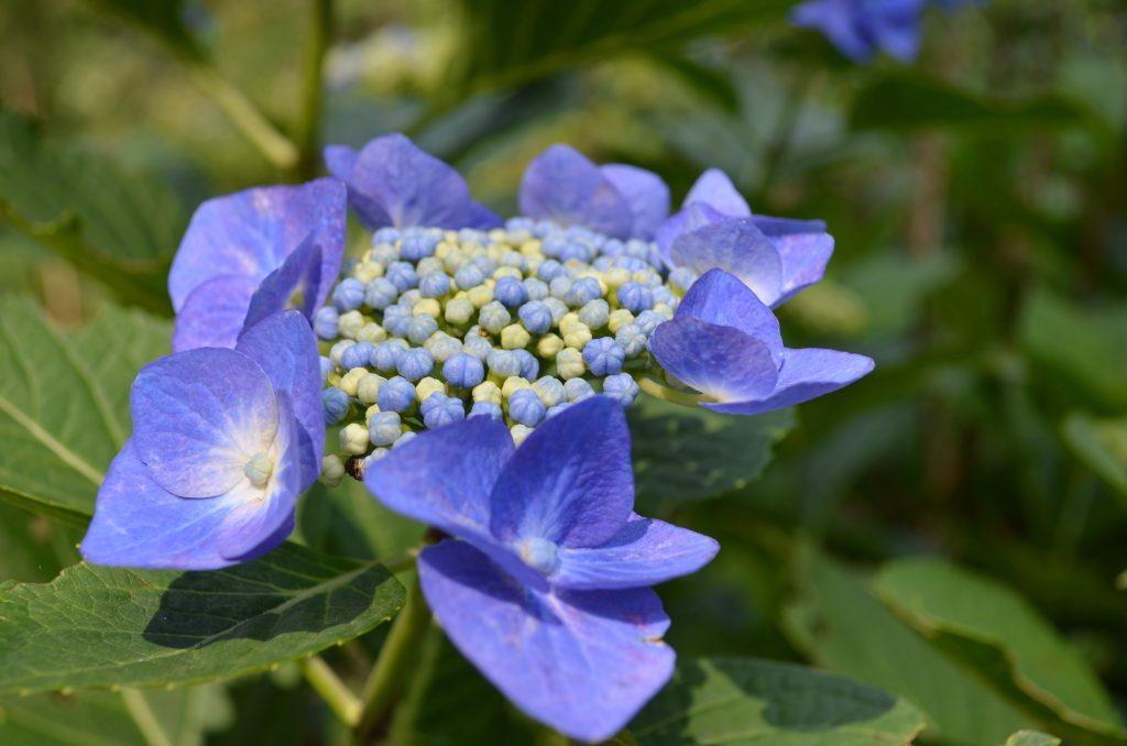 青色した綺麗なアジサイ