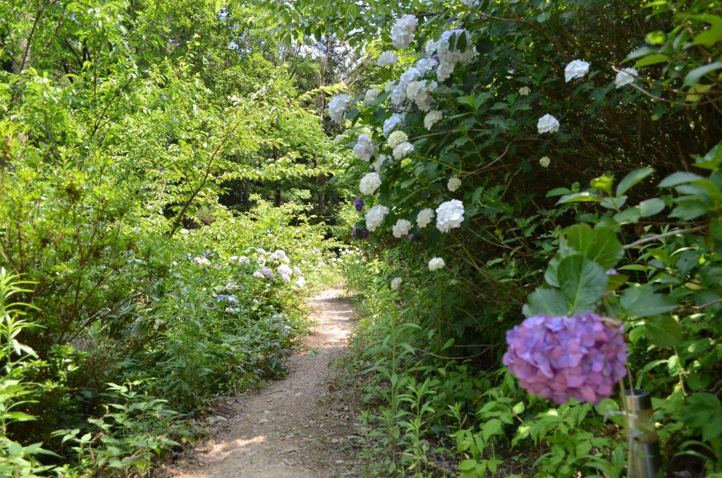 あじさい寺(金泉寺)にある紫陽花に囲まれた小路