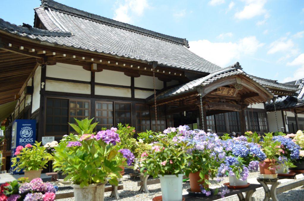 あじさい寺と呼ばれている埼玉県嵐山町にある金泉寺さんの本堂脇のあじさい。本堂に向かって左側